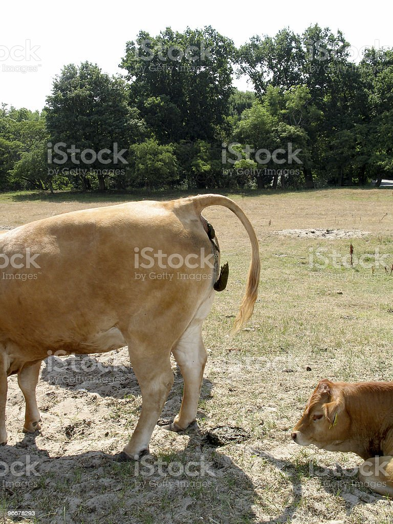 cow in the john stock photo