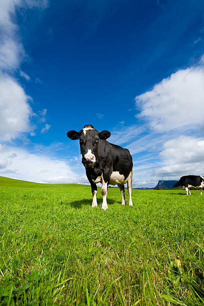 Cow in the Middle of a Grass Field stock photo