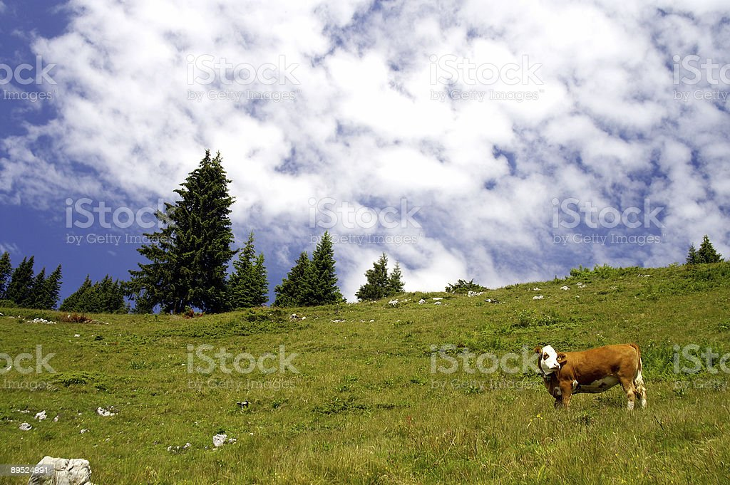 Cow in the mountains 2 royalty-free stock photo