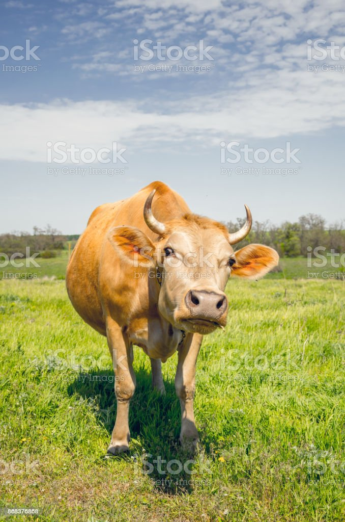 Cow in the pasture. Peaceful rural landscape stock photo