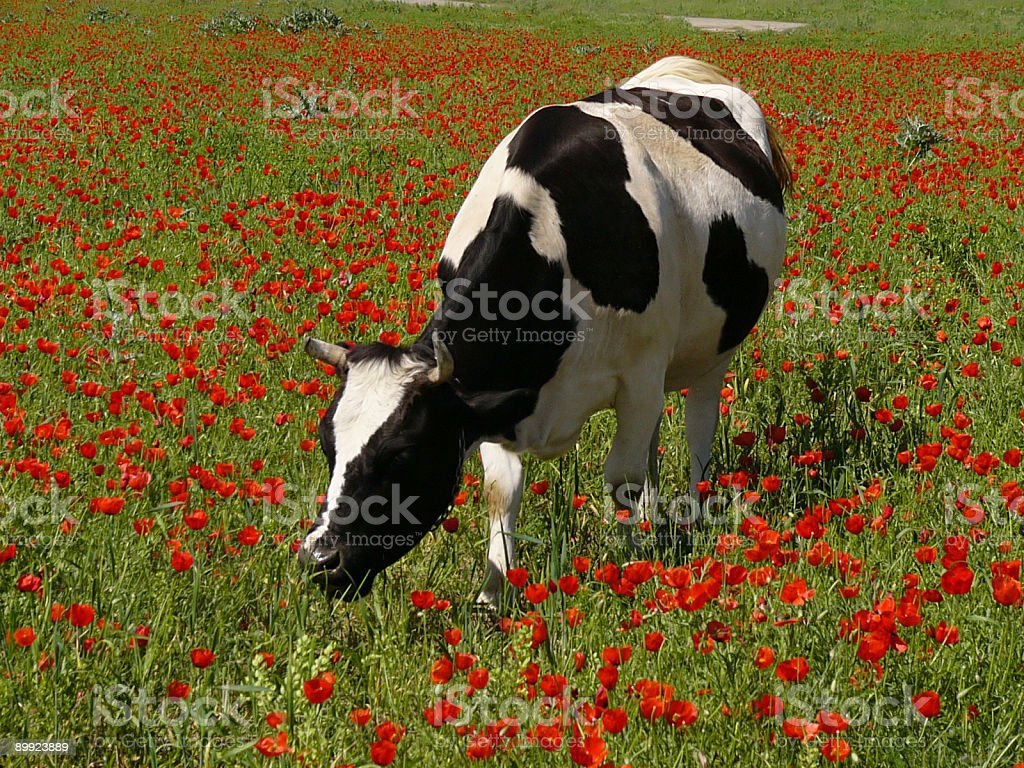 cow in the poppy field royalty-free stock photo