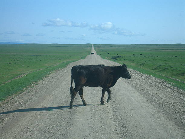 Cow In The Road stock photo
