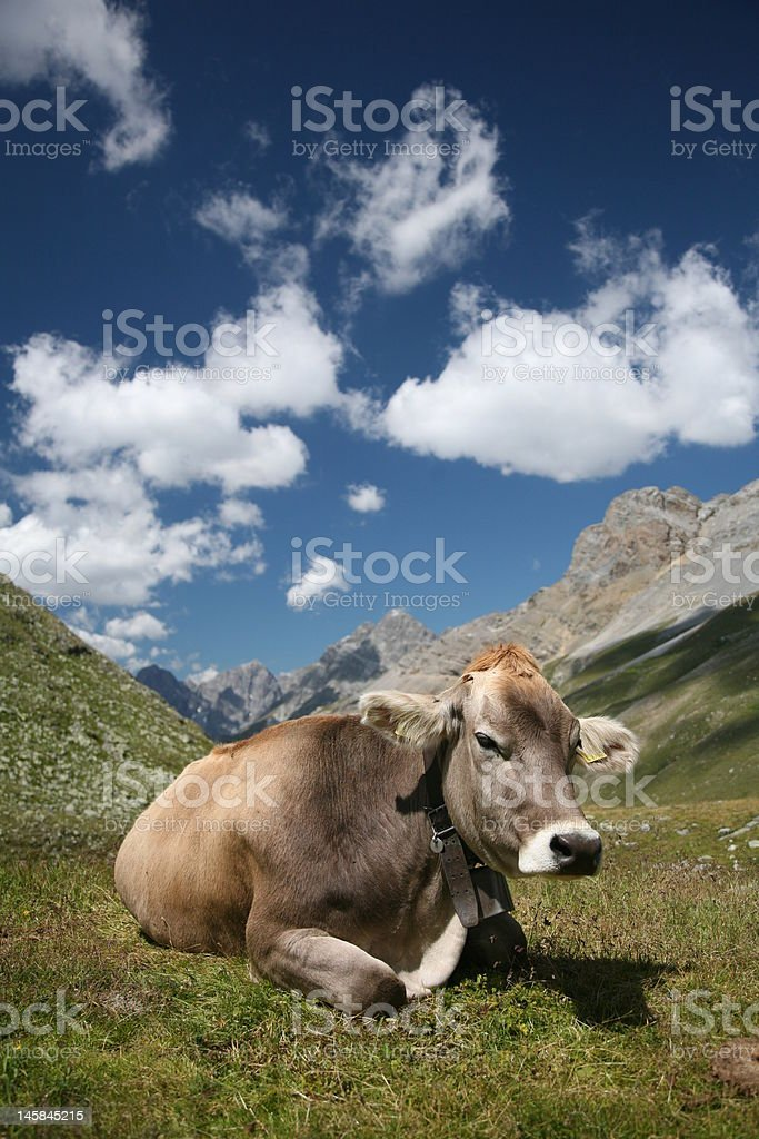 Cow in the swiss alps royalty-free stock photo
