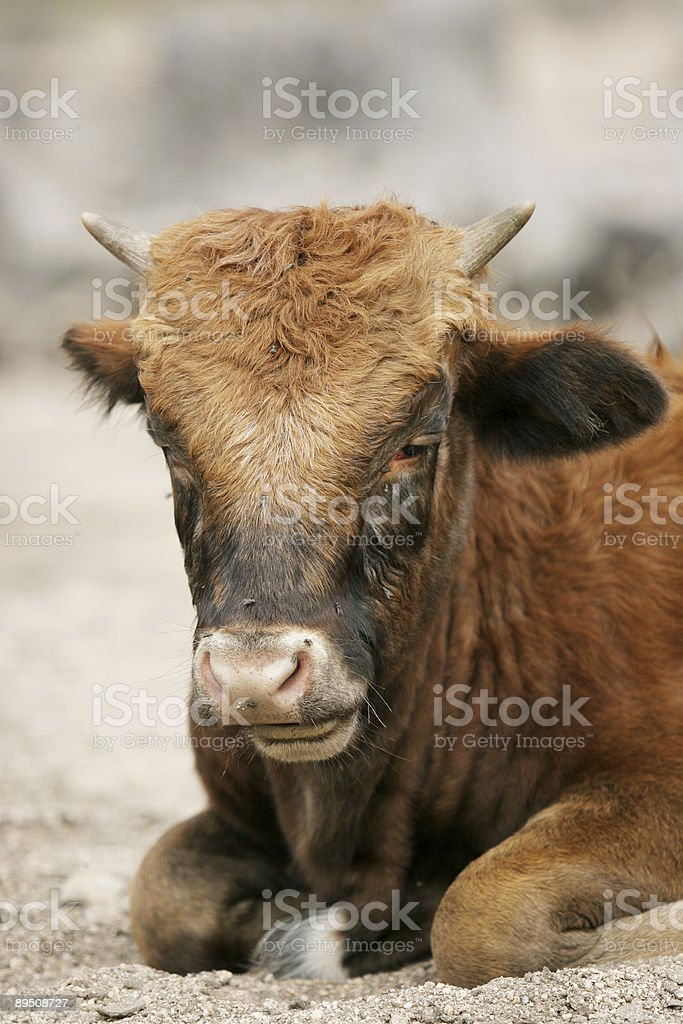 Cow in the wild royalty-free stock photo
