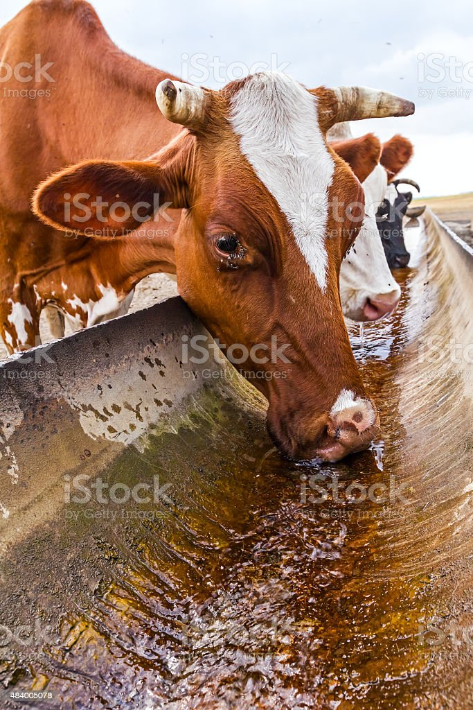 Cow is drinking at the water trough. stock photo