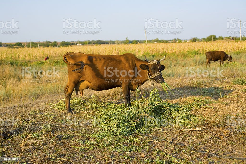 Cow is grazed on a meadow royalty-free stock photo