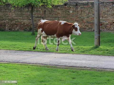Cows on the Countryside Road Through the Village Street on the Way to be Milked in the Evening.