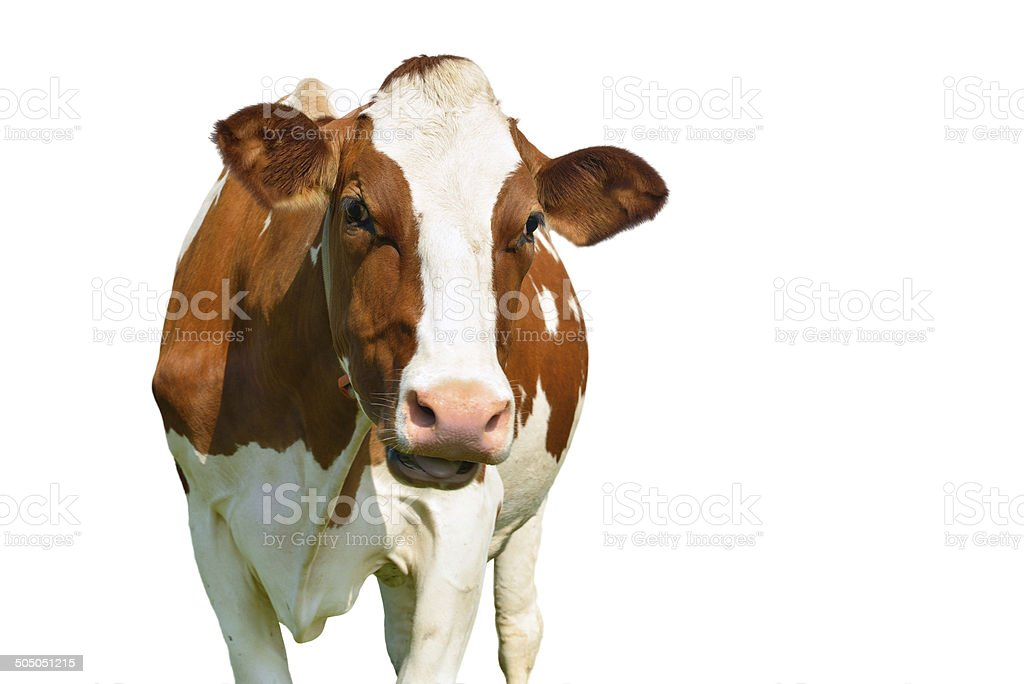 cow isolated on white stock photo