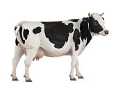 Cow isolated on white background. 3D render