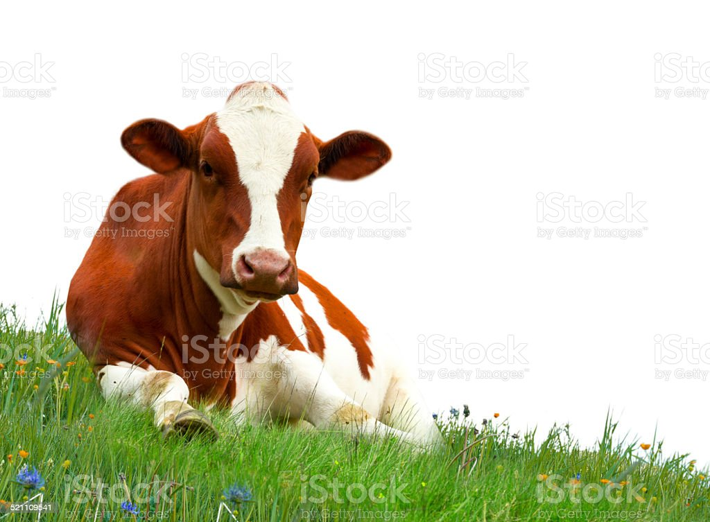 Cow isolated stock photo