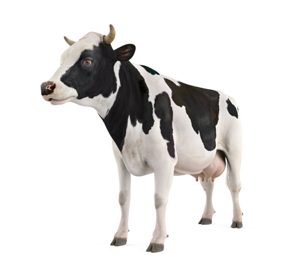 cow isolated - cow stock photos and pictures