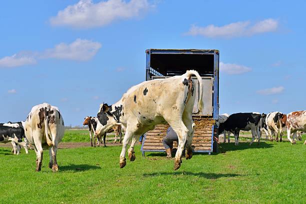 Vacca salti in esecuzione in verde prato dopo il trasporto - foto stock
