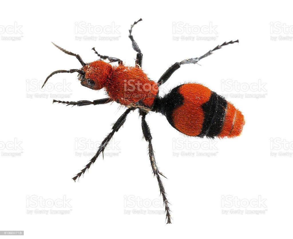 Cow Killer or Velvet ant in isolated macro stock photo
