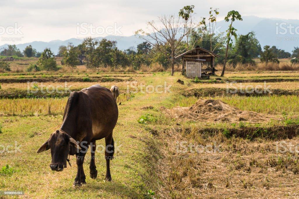 Una vaca de su granja con fondo de montaña. - Foto de stock de Agricultura libre de derechos