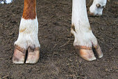 Cow legs hooves close-up. Big adult heifer standing on the farm ground. White and red hair color