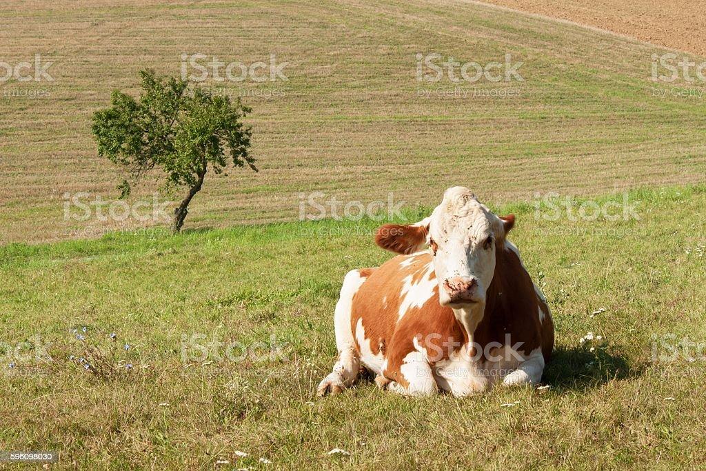 Cow lies on the pasture. stock raising on the farm Lizenzfreies stock-foto
