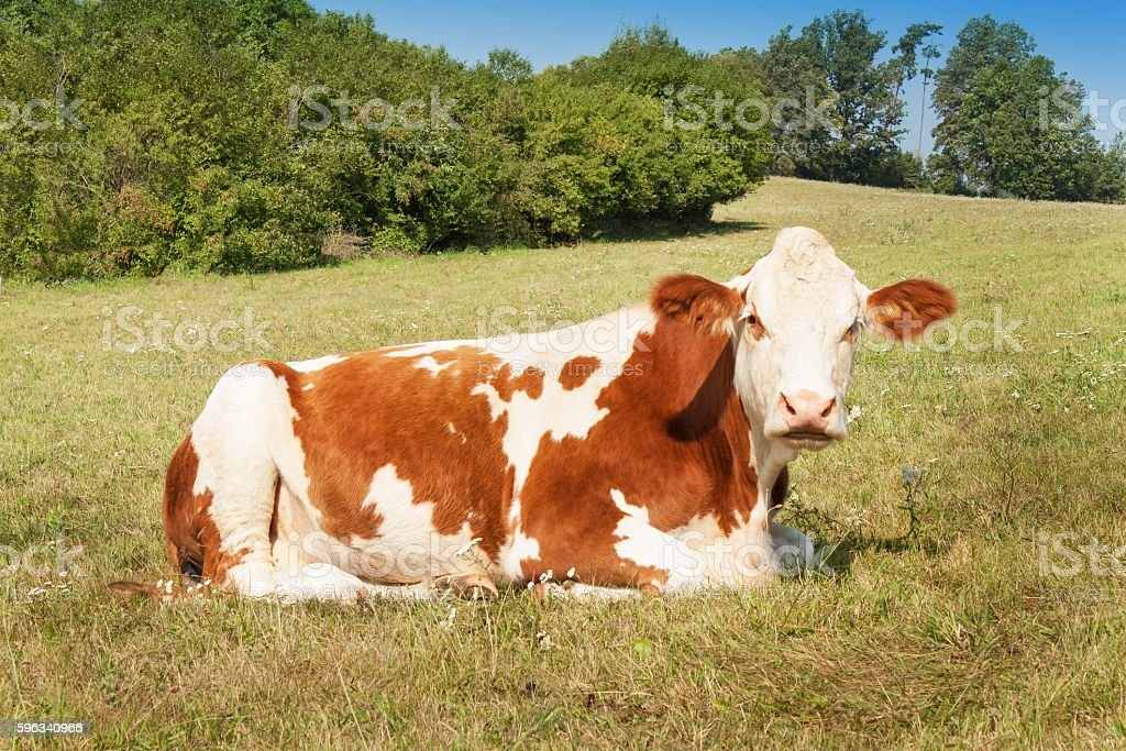 Cow lies on the pasture. stock raising on the farm royalty-free stock photo