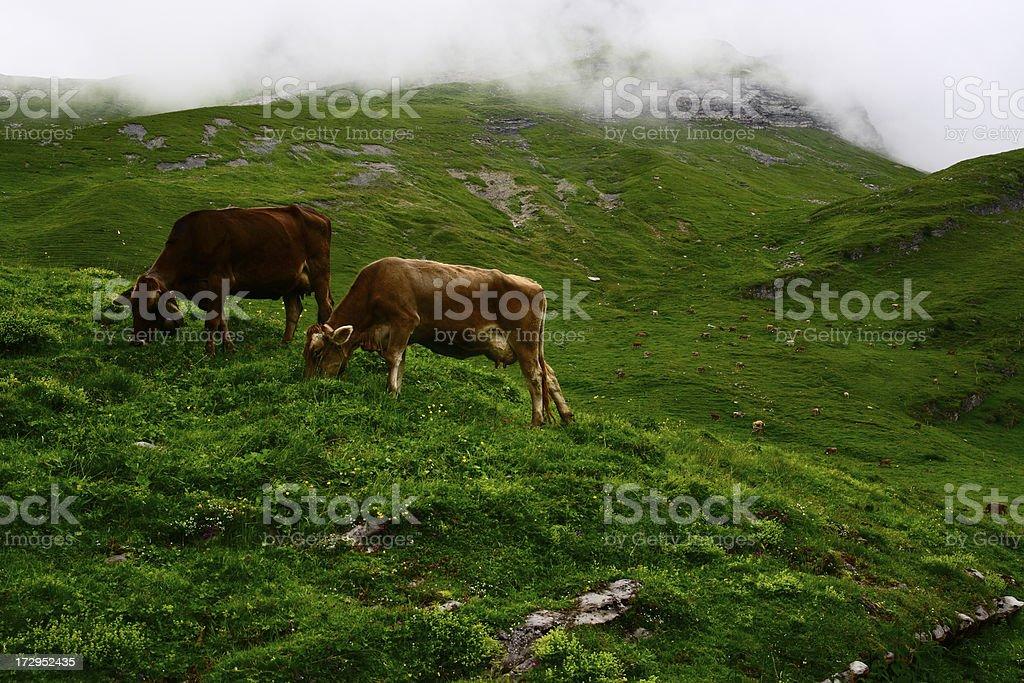 Cow Life royalty-free stock photo