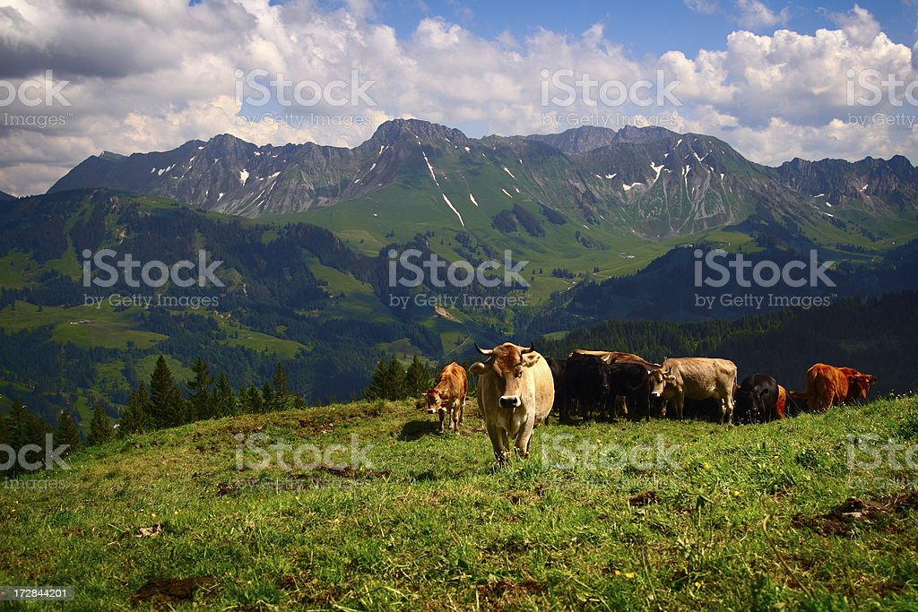 Cow Live stock photo