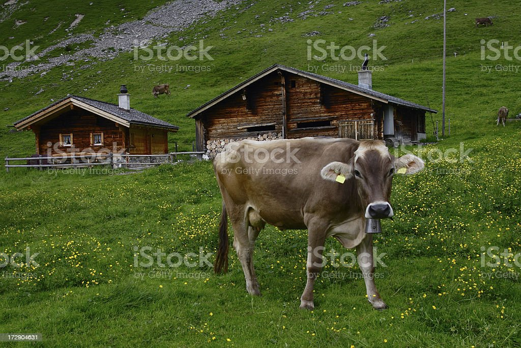 Cow Live royalty-free stock photo