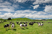Cattle Cow Farm in New Zealand. You can even see sheep on the typical green hills in back.
