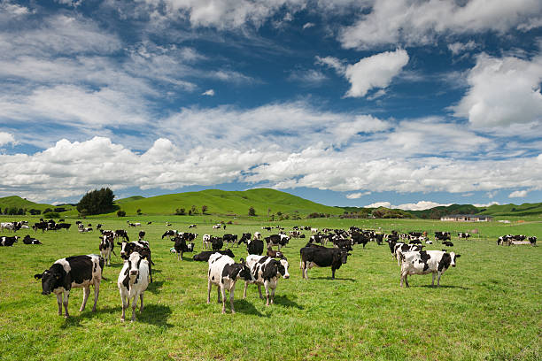 Cow Livestock, New Zealand Cattle Cow Farm in New Zealand. You can even see sheep on the typical green hills in back. holstein cattle stock pictures, royalty-free photos & images