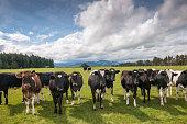 Cattle Farm in New Zealand.