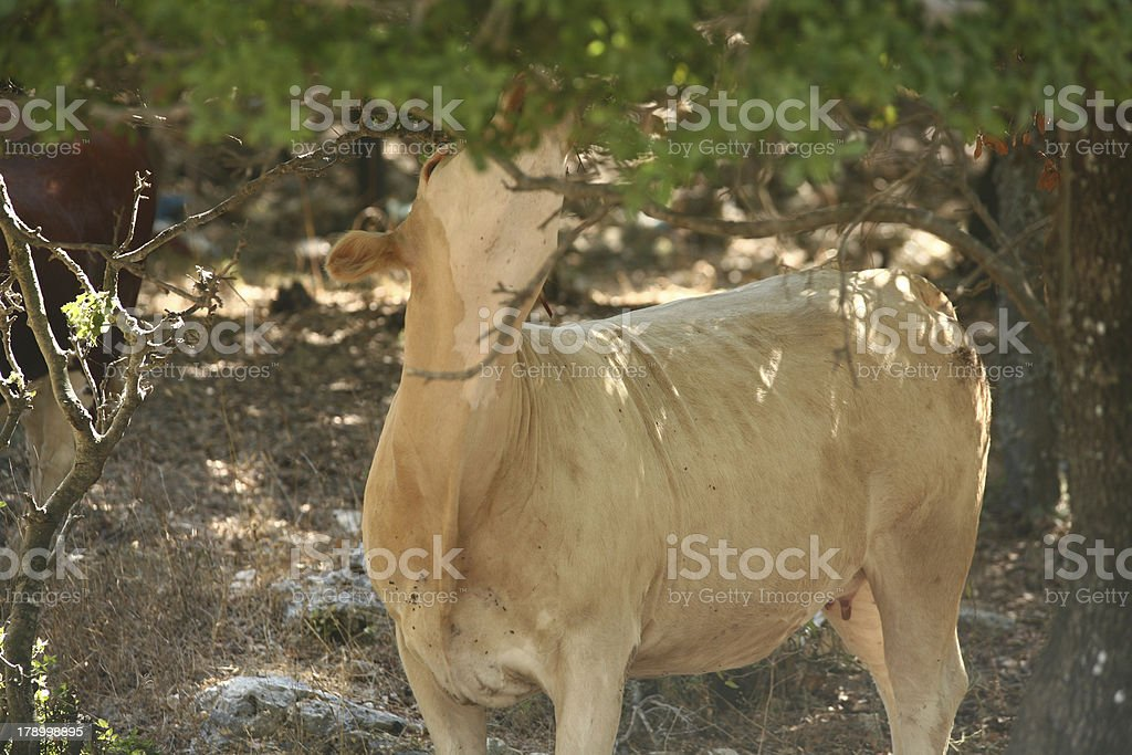 Cow look up royalty-free stock photo