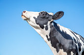 Cow looking up in the air, black and white mottled, profil head and blue background