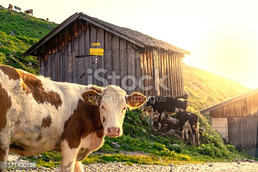 Cow looking at the camera in tyrol alm Austria on the mountains sunrise over the hut hutte