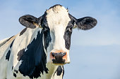 istock Cow looking friendly, portrait of a calm bovine, gentle look, pink nose, medium shot of a black-and-white cow in front of a blue sky. 1282528846