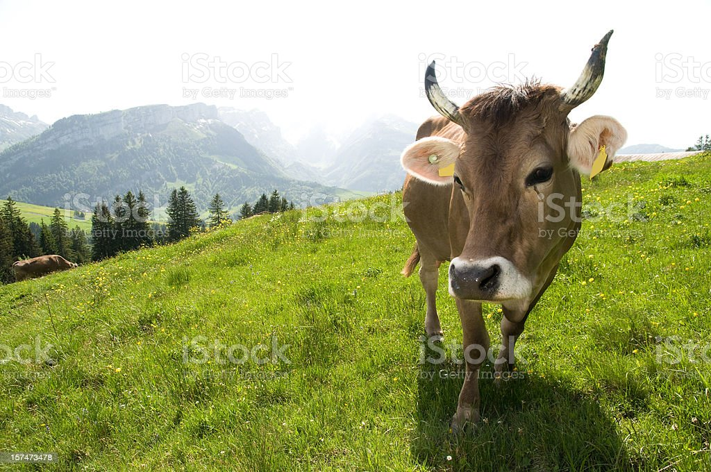 cow looking into camera stock photo