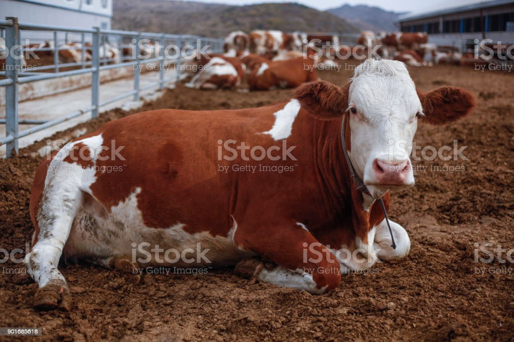 Cow Looking stock photo