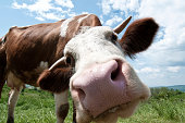 istock Cow looking straight into the camera 168304233