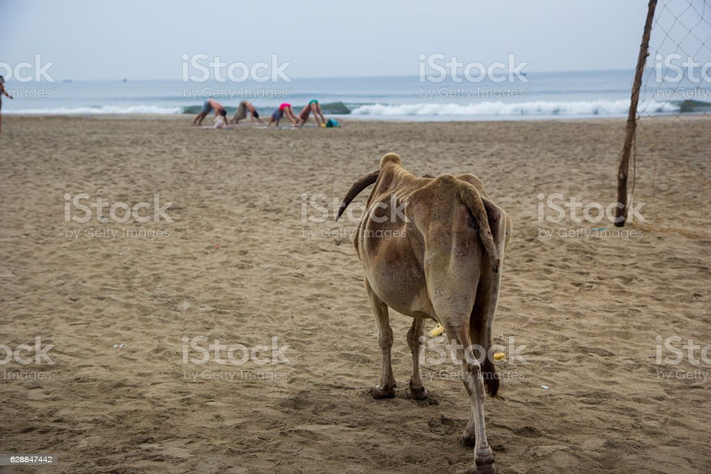 Cow looks at the yogis in the morning in India stock photo