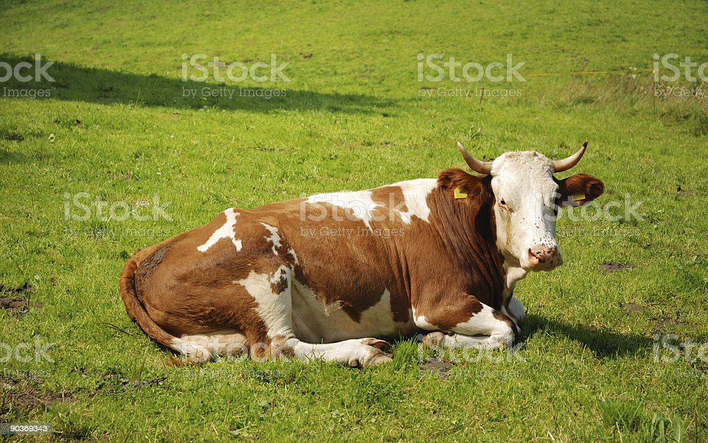 cow lying on grass stock photo