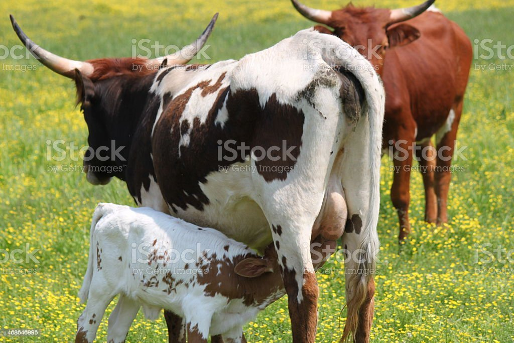 Cow milking calf in a field of yellow wildflowers stock photo
