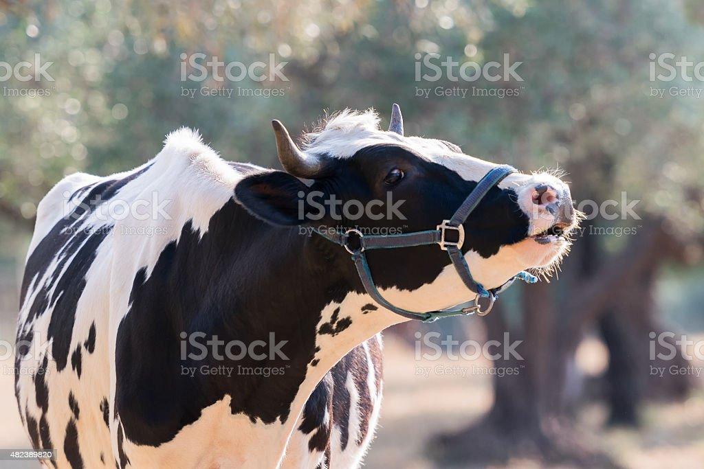 Cow mooing in a farm. stock photo