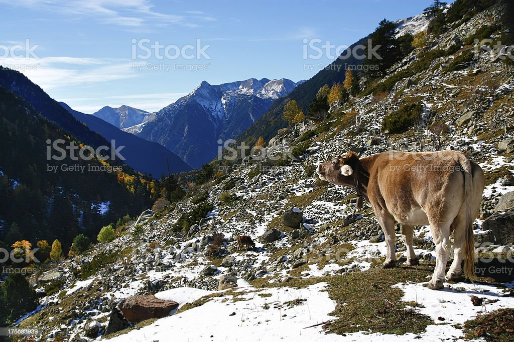 Cow mooing in autumn mountains stock photo