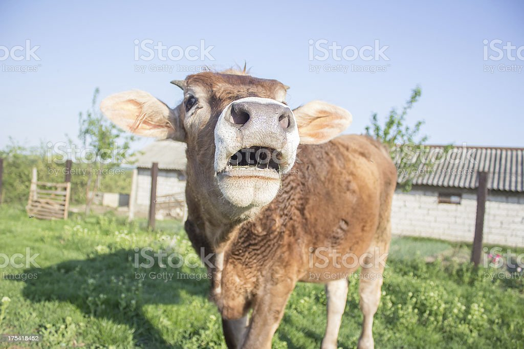 Cow mooing stock photo