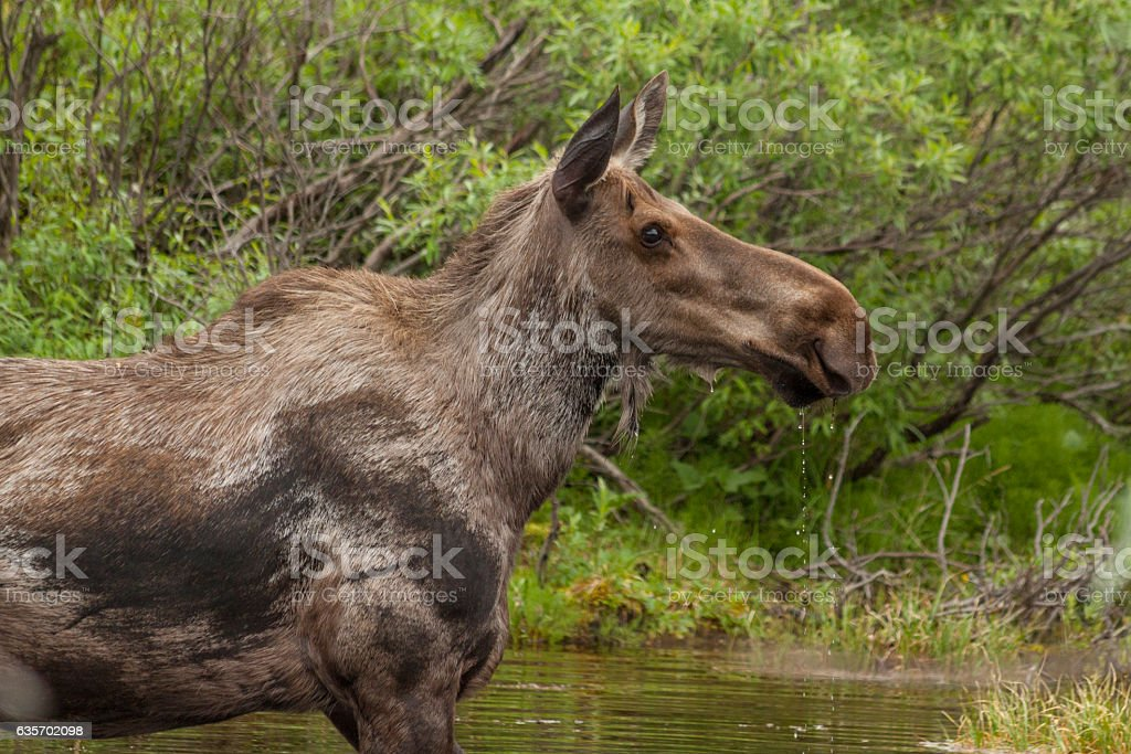 Cow moose feeding in a kettle pond, Denali National Park. royalty-free stock photo