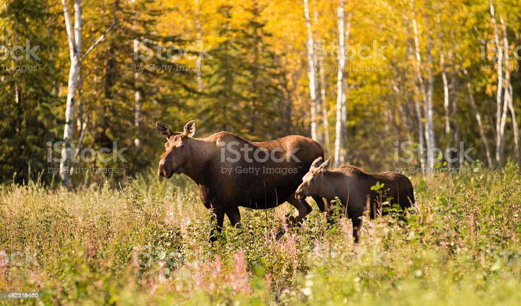 Cow Moose leads Her Calf Across Road Near Denali Alaska stock photo
