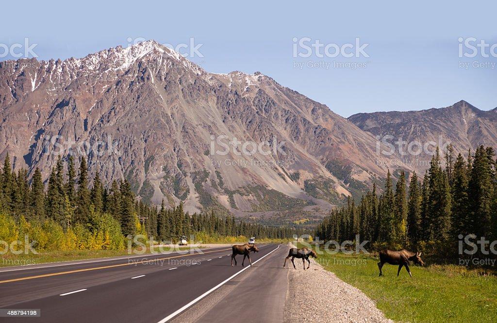 Cow Moose leads Two Calves Across Road Near Denali Alaska stock photo