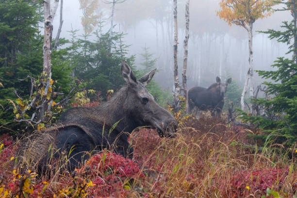 Cow moose with calf in fall, Alces alces, female animal with young stock photo