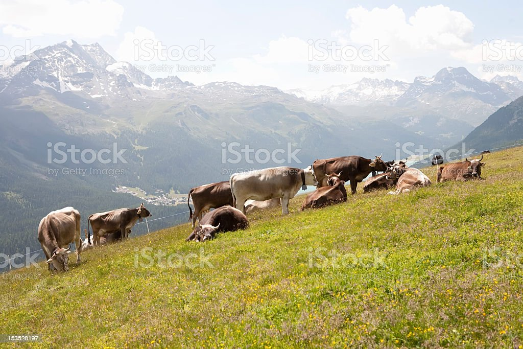 cow mountain in the Alps royalty-free stock photo