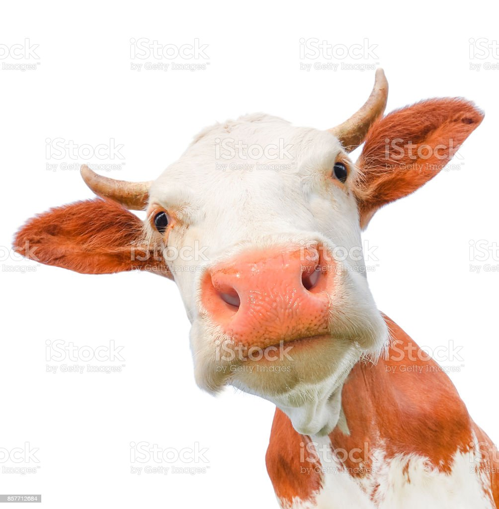 Cow muzzle staring close up. stock photo