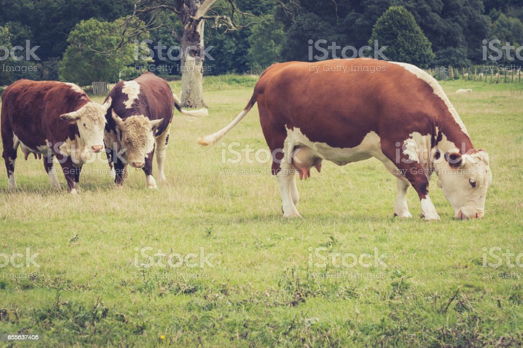 A cow nd a bulb watching another cow grazing close to  Lacock village, Wiltshire, England, UK stock photo