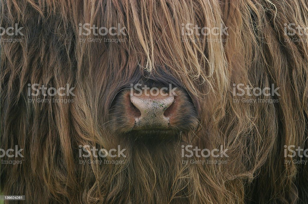 cow needs a haircut royalty-free stock photo