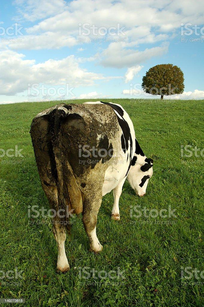Kuh auf der Rückseite – Foto
