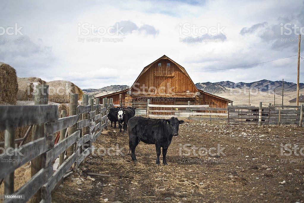 Cow on a farm royalty-free stock photo